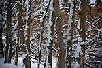 Mid section of a stand of trees with wind blown snow clinging to the bark.