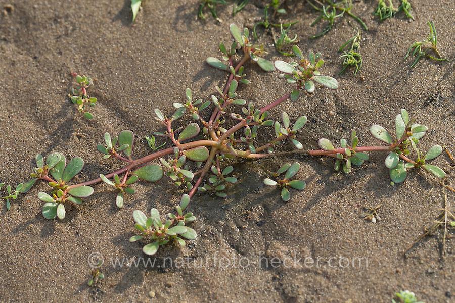 Portulak, Gemüse-Portulak,, Portulaca oleracea ssp. sativa, Common Purslane, Verdolaga, Pigweed, Little Hogweed, Pursley, Moss ros