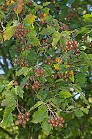 Elsbeere, Elzbeere, Früchte, Sorbus torminalis, Wild Service Tree, Alisier torminal