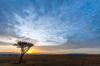 Lone acacia tree at sunrise, Masai Mara, Kenya, Africa