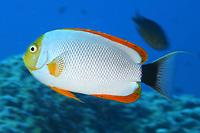 male masked angelfish, Male, Genicanthus personatus, Pearl and hermes reef, Papahanaumokuakea Marine National Monument, Northwestern Hawaiian Islands, Hawaii, USA, Pacific Ocean, endemic