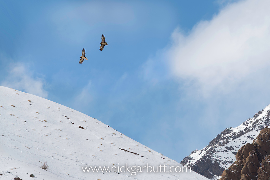 A pair of bearded vultures or lammergeiers (Gypaetus barbatus) in courtship display flight. Ulley Valley, Ladakh, India.