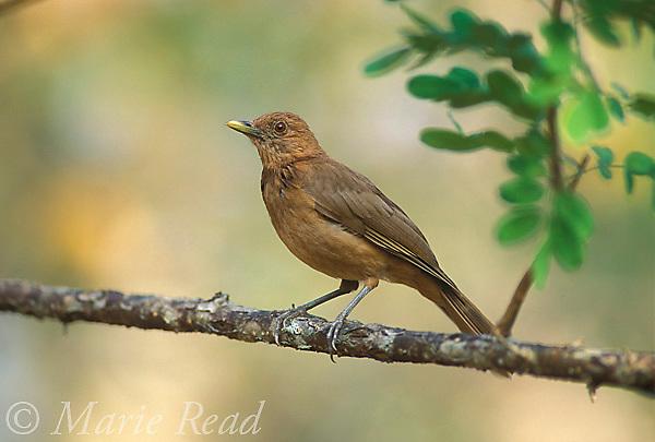 Clay-colored Robin (Turdus grayi), Gamboa, Panama<br /> Slide#B136-3308