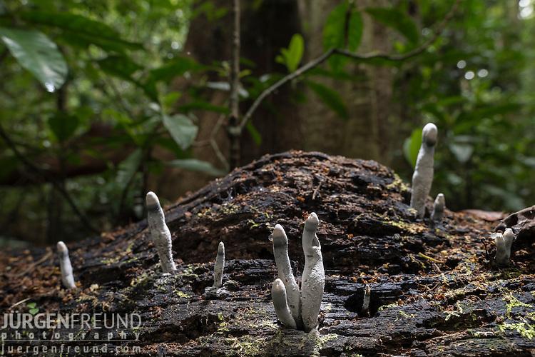 Fungi - Dead Man's Fingers immature white spores (Xylaria polymorpha)