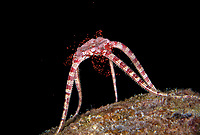 Ruby Brittle Star, Ophioderma rubicunda, releasing its eggs during spawning at night, Bonaire, ABC Islands, Caribbean Netherlands, Caribbean Sea, Atlantic Ocean
