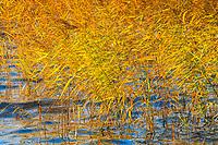 Höst gulnad vass vid Kalvfjärden i Stockholms skärgård