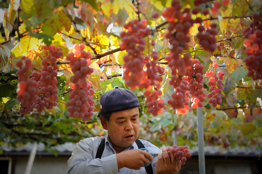 Picking koshu grapes in Katsunuma, Yamanashi Prefecture, Japan, October 12, 2009.