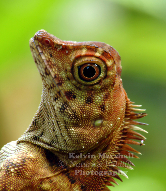 Borneo Forest Dragon  (Gonocephalus borneensis)<br /> Agamids, are lizards of the family Agamidae, include more than 300 species in Africa, Asia, Australia, and a few in Southern Europe. Many species are commonly called dragons or dragon lizards.