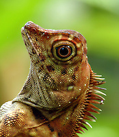 Borneo Forest Dragon  (Gonocephalus borneensis)<br />