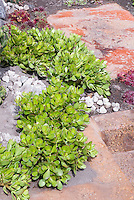 Drought gardening in sun: Succulent sedum and sempervivum  perennials in dry sandy garden