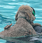 """Diego"" does finally get in the water, but the big standard  poodle clings tightly to his friend Peggy Hurd of Laurel."