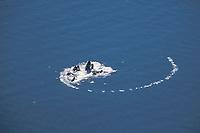four humpback whale adults, Megaptera novaeangliae, bubble net feeding, aerial sequence, Lynn Canal, Alaska, USA, Pacific Ocean