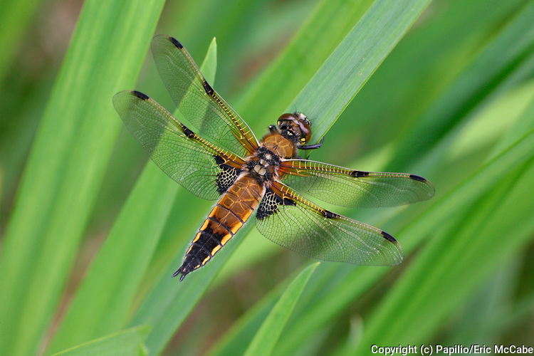 Four-Spotted Chaser, Libellula quadrimaculata in Argyll<br /> nature<br /> wildlife<br /> british<br /> britain<br /> Scotland<br /> insect<br /> odonata<br /> Chaser<br /> libellulidae<br /> Dragonfly<br /> moor<br /> moorland<br /> pond<br /> water<br /> Libellula quadrimaculata<br /> Libellula<br /> UK<br /> wetland