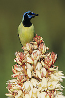 Green Jay, Cyanocorax yncas, adult on blooming Trecul Yucca (Yucca treculeana) , Lake Corpus Christi, Texas, USA