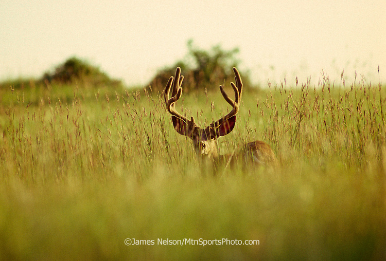 12-697. A mule deer buck with velvet-phase antlers pauses pauses amid tall grass in the Rocky Mountains of Colorado.