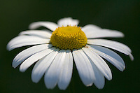 Ox-eye daisy, Oxfordshire, United Kingdom