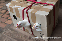 Africa, Swaziland, Malkerns.  Chickens in a box.