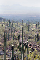 Saguaro cactus stand with other vegetation in the hills of Saguaro National Park West (Tucson Mountain District) near Tucson, Arizona, USA.