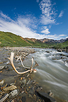 Bull caribou antlers near a mountain stream, Denali National Park, Interior, Alaska.