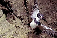 KG01-054x  Belted Kingfisher - male leaving nest after feeding fish to young - Megaceryle alcyon