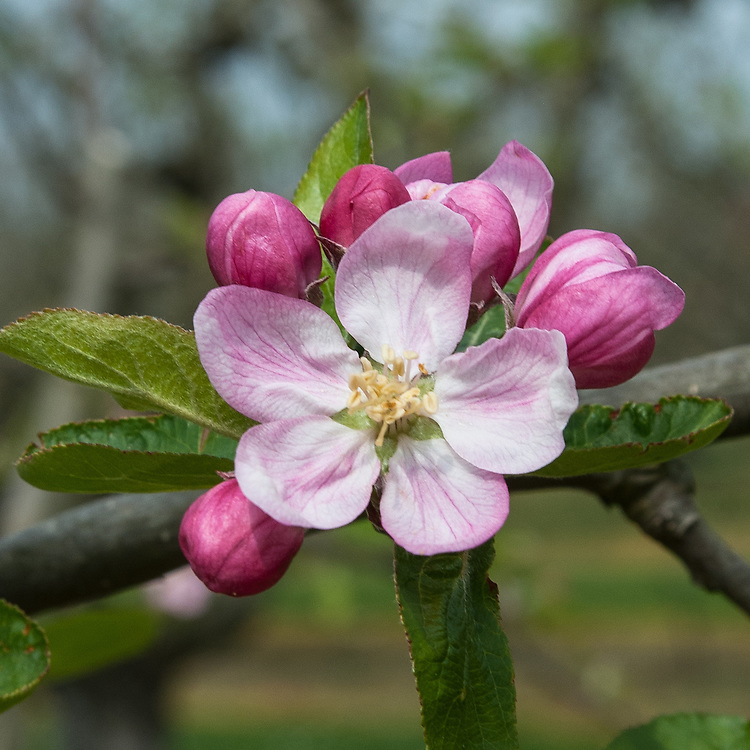 Blossom of Apple 'Fillingham Pippin', late April. An English dessert apple thought to have been raised in the 19th century by a Yorkshire carter named Fillingham.