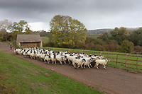 Farmer moving sheep down a farm track <br /> &copy;Tim Scrivener Photographer 07850 303986<br />      ....Covering Agriculture In The UK....