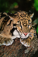 654344006 a wildlife rescue clouded leopard neofelis nebulosa perches on a large tree limb at a wildlife rescue facility - species is highly endangered in the wild and native to southeast asia