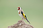 Goldfinch, Carduelis carduelis, Lesvos, Greece, perched on rock, resident , lesbos