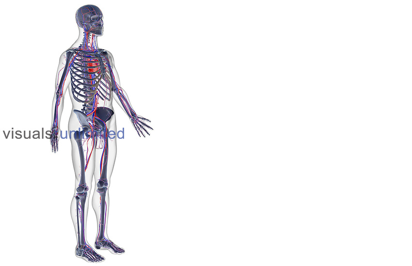 An anterolateral view (right side) of the vascular system. The surface anatomy of the body is semi-transparent and tinted grey. Royalty Free
