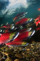 Sockeye Salmon ( Oncorhynchus nerka) swimming up the Adams River in British Columbia, Canada to spawn.
