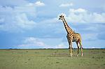 Giraffe (Giraffa camelopardalis tippelskirchi) Masai Mara, Kenya.
