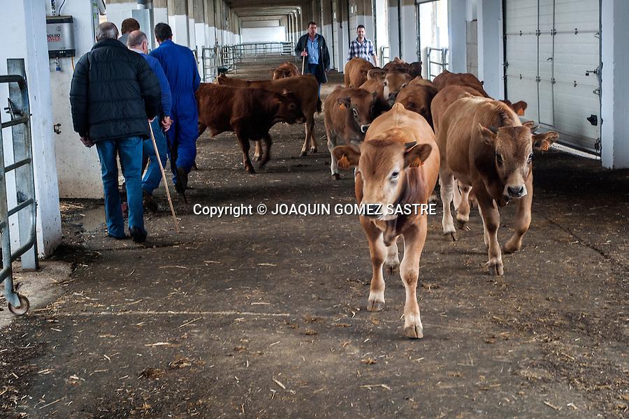 Un ganadero metiendo vacas en el mercado de ganados para venderlas
