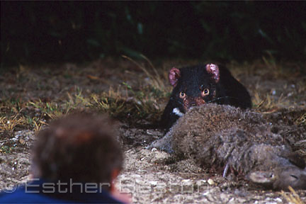 Zoologist crawls close to Tasmanian Devil feeding on baited kangaroo carcass at night. Narawntapu National Park, Tasmania