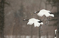 Japanese Cranes (Grus japonensis) in flight; Hokkiado, Japan, February 2015
