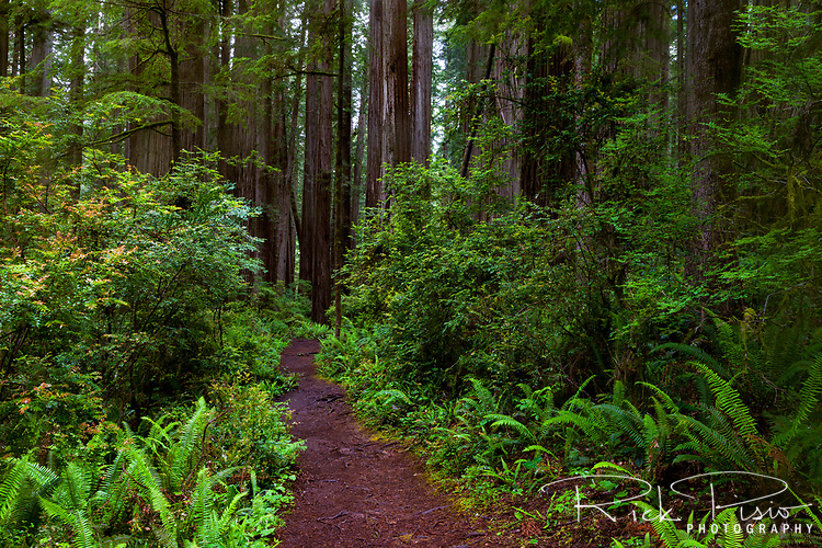 Ferns and redwoods along the Boy Scout Trail at Jedidiah Smith State Park in Northern California.