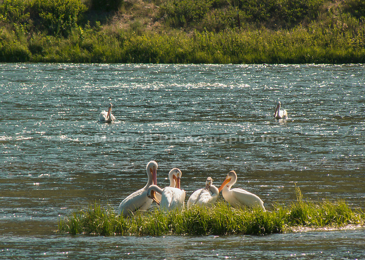 Pelicans along the Madison River,Montana