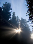 Fog beams in Redwood National Park near Crescent City, CA