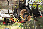 Feeding time at the Tolga Bat Hospital aviary where the fruitbats or flying foxes are fed different fruits from bananas, apples, watermelon to milk and water. Spectacled flying fox (Pteropus conspicillatus