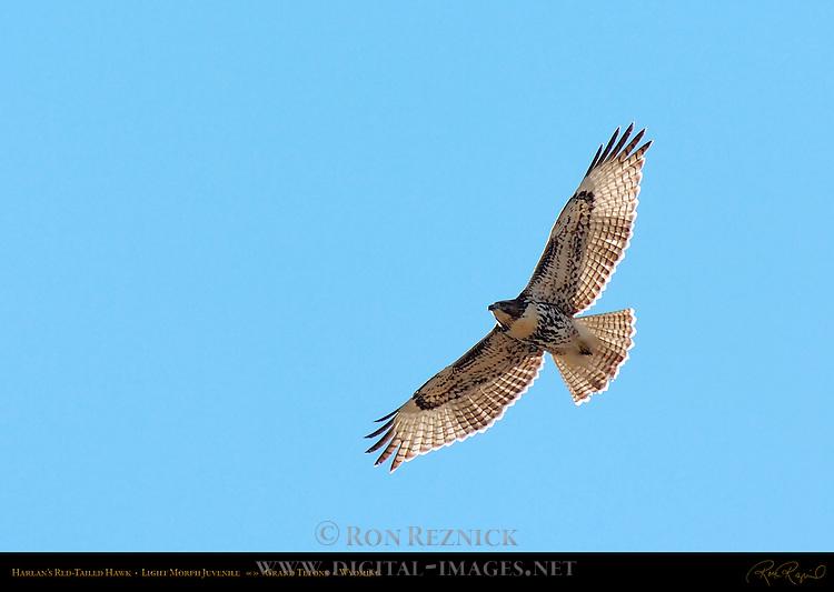Harlan's Red-tailed Hawk, Light Morph Juvenile, Grand Tetons, Wyoming