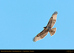 Harlan's Red-tailed Hawk, Light Morph Juvenile, Grand Tetons, Wyoming