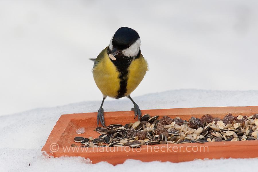 Kohlmeise, an der Vogelfütterung, Fütterung im Winter bei Schnee, frisst Körner am Boden aus einer Schale, Winterfütterung, Kohl-Meise, Meise, Parus major, great tit