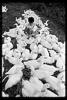 A Hong Kong Chinese boy feeds water to ducks that are tied up before being delivered to buyers in the New Territories, Hong Kong, 1986.