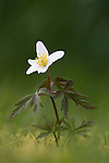 Wood anemone, Anemone nemorosa, Scotland, UK