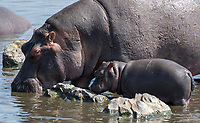 Hippopotamus adult and calf, Hippopotamus amphibius, in a pond in Serengeti National Park, Tanzania