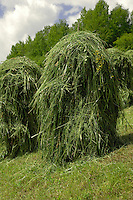 Individual grass stacks drying in tyrolean fields. Note stick. Imst district, Austria.