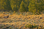 Elk at Sunrise, Lower Mammoth, Yellowstone National Park, Wyoming