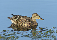 Teal - Anas crecca - female. L 34-38cm. Our smallest duck. Forms flocks outside breeding season. Often nervous and flighty. In flight, both sexes show white-bordered green speculum. Sexes are otherwise dissimilar. Adult male has chestnut-orange head with yellow-bordered green patch through eye. Plumage is otherwise finely marked grey except for black-bordered yellow stern and horizontal white line along flanks. Bill is dark grey.  In eclipse, resembles adult female. Adult female has mottled grey-brown plumage. Bill is grey with hint of yellow at base. Juvenile is similar to adult female but warmer buff. Voice Male utters a ringing whistle, female utters a soft quack. Status Associated with water. Nests in small numbers beside pools and bogs mainly in N. Locally common outside breeding season on freshwater marshes, estuaries and mudflats.