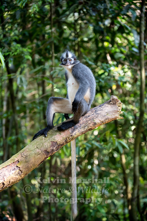 Thomas's langur (Presbytis thomasi) is a species of primate in the family Cercopithecidae. It is endemic to North Sumatra, Indonesia. Gunung Leuser National Park - Bukit Lawang (Northern Sumatra) Indonesia.