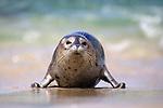 USA; California; La Jolla, San Diego;  A baby seal coming ashore in La Jolla