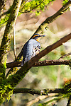Varied thrush, coast  mountain range, Oregon